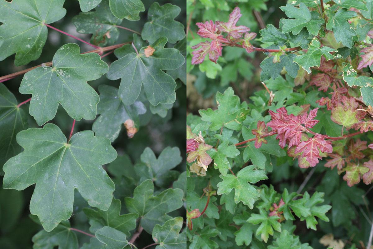 Acer Feldahorn