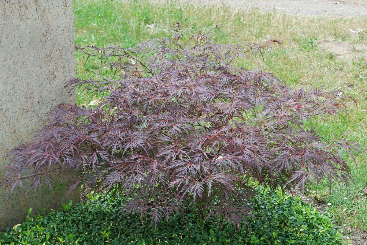Acer palmatum Dissectum Atropurpureum