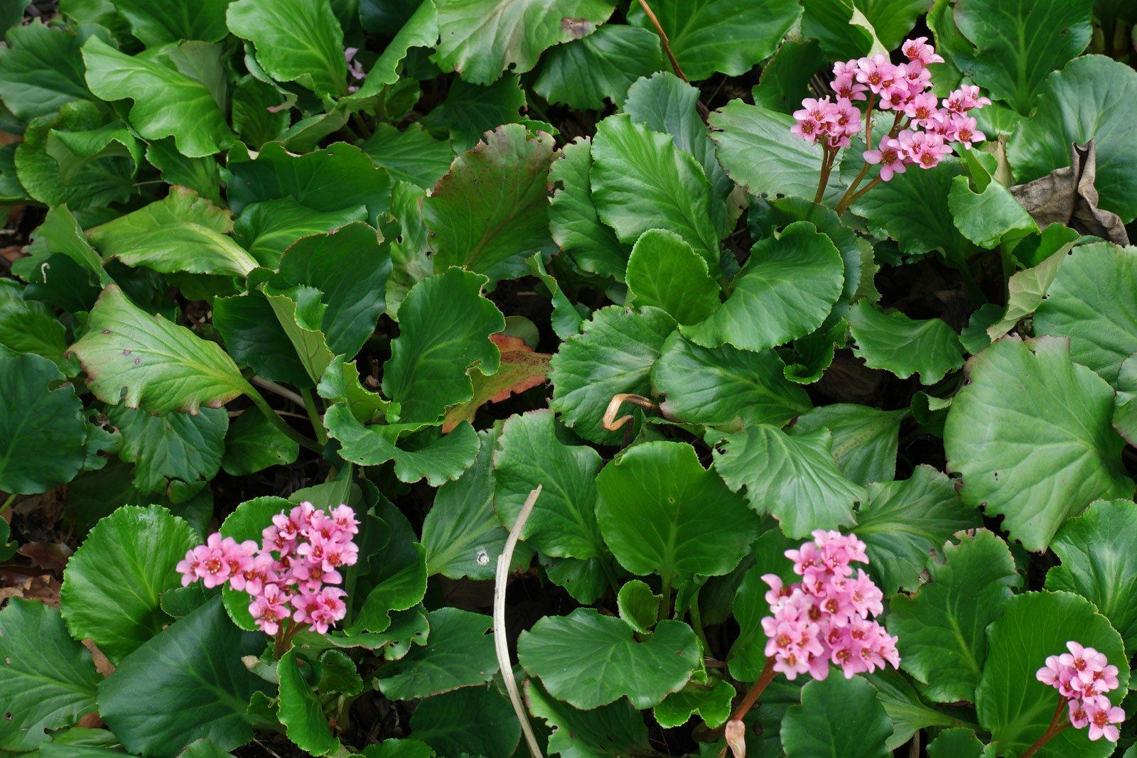 Bergenia cordifolia cv