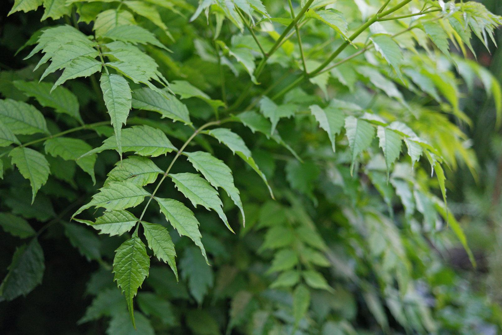Campsis radicans cv