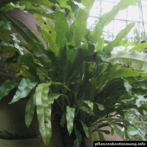 microsorum musifolium