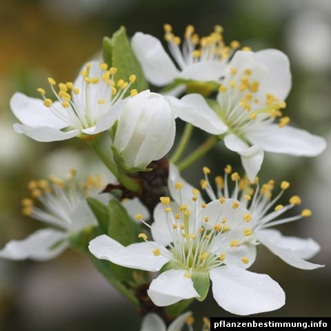 prunus domestica ssp. domestica