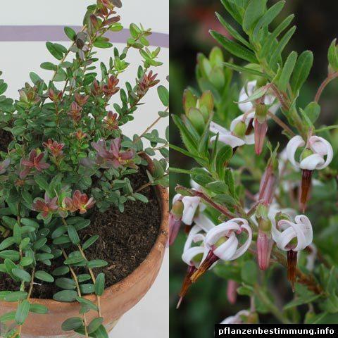 Vaccinium macrocarpon (Cranberry, Moosbeere)