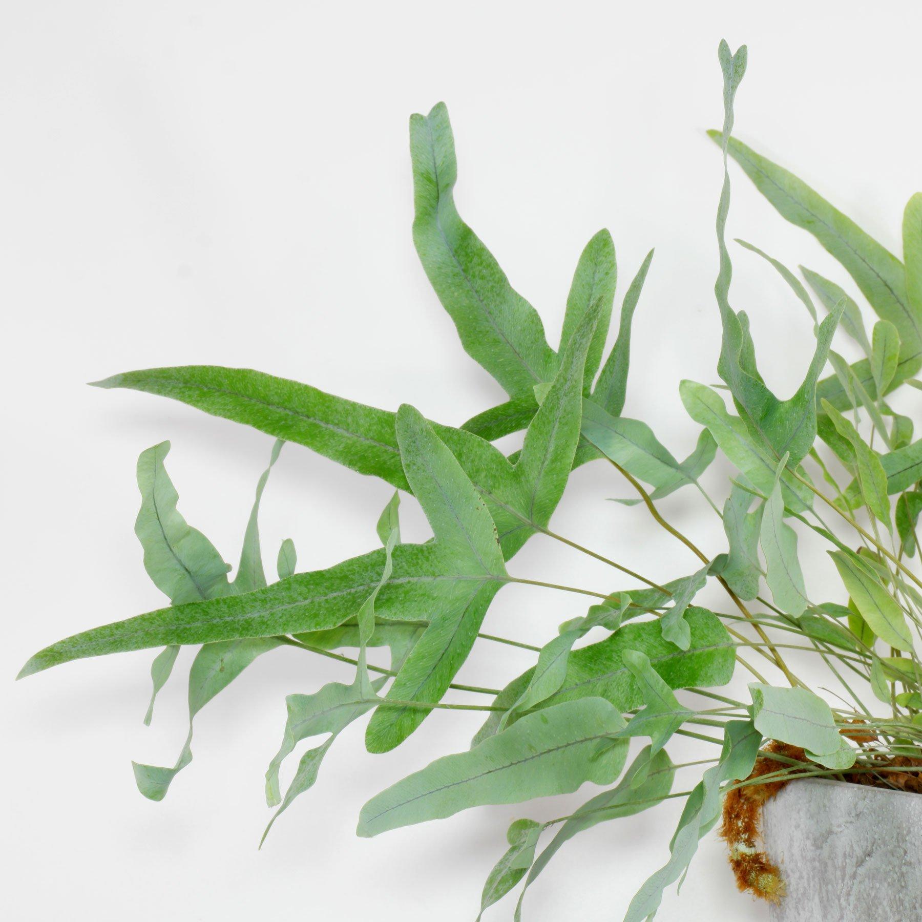 Phlebodium aureum