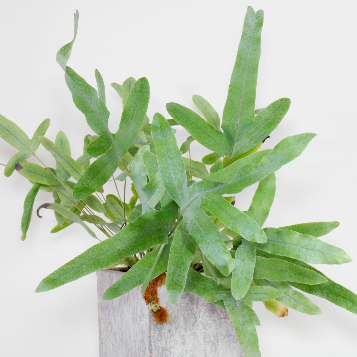 Phlebodium aureum 8