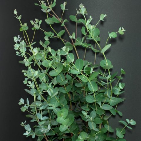 Eucalyptus à Feuilles Rondes