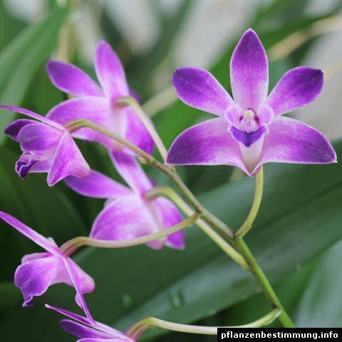 Dendrobium Berry Oda