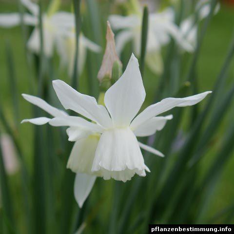 Narcissus triandrus Thalia