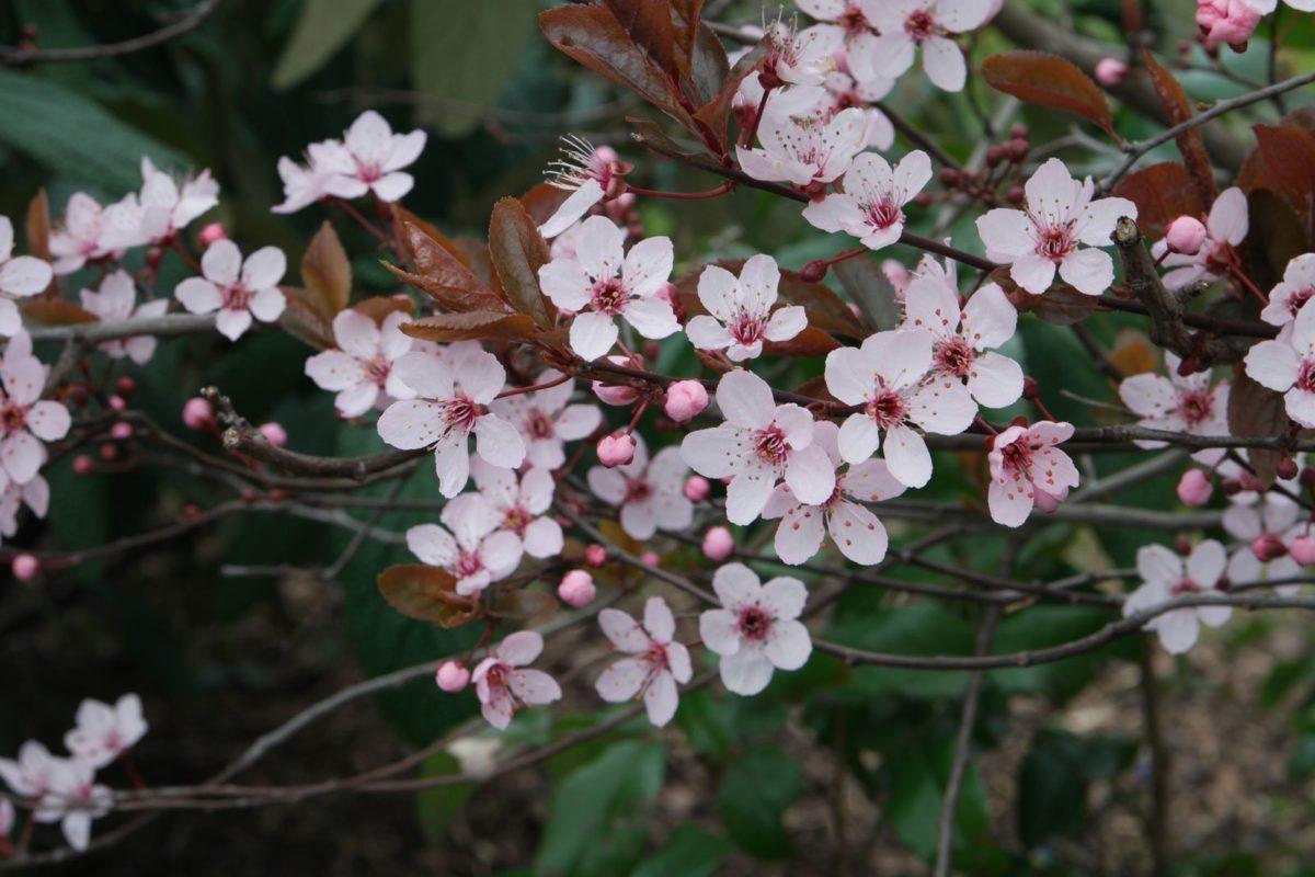 Prunus cerasifera cv.