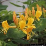 Lonicera × tellmanniana