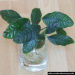 Anubias barteri coffeifolia