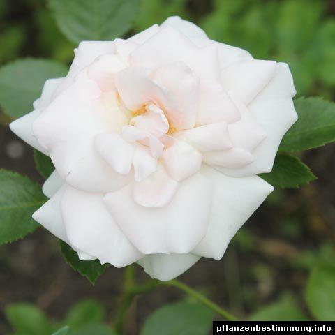 Rosa Aspirin