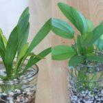 Uruguay Schwertpflanze