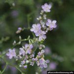 Limonium latifolium