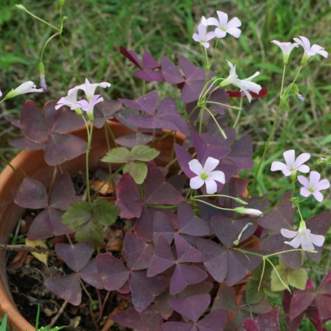 Oxalis Triangulaire