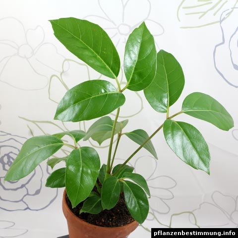 Schefflera actinophylla