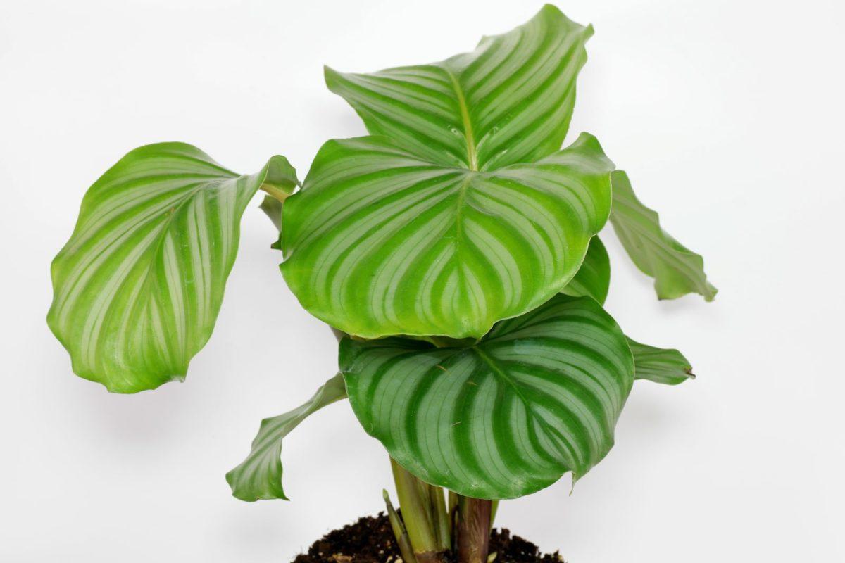Plante Paon