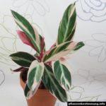 Stromanthe thalia