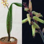 Lachenalia bulbifera
