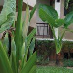 Alocasia sp.
