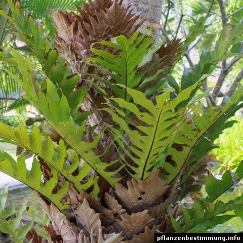 Drynaria quercifolia