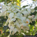 Mussaenda white