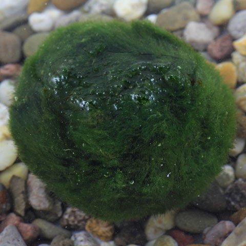 plante aquatique identification