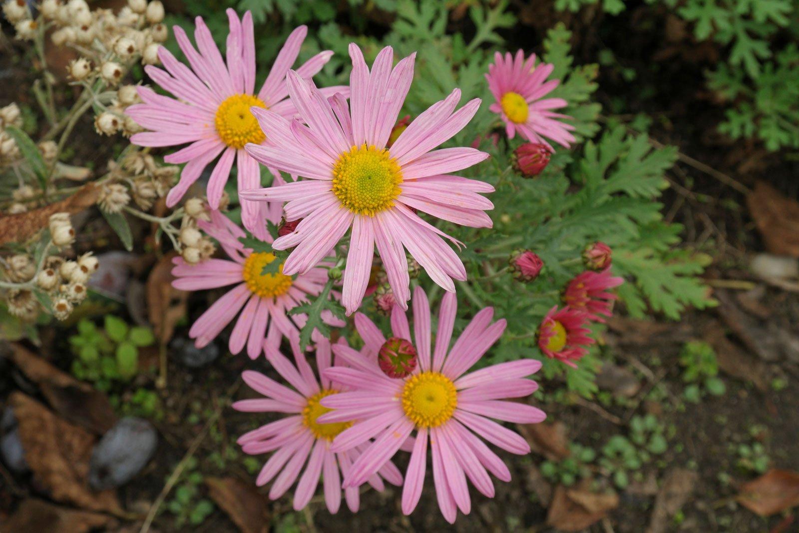 Chrysanthemum zawadskii Clara Curtis