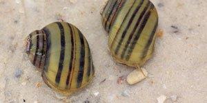 Escargots Aquatiques