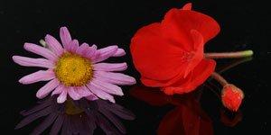 Rouge et Rose