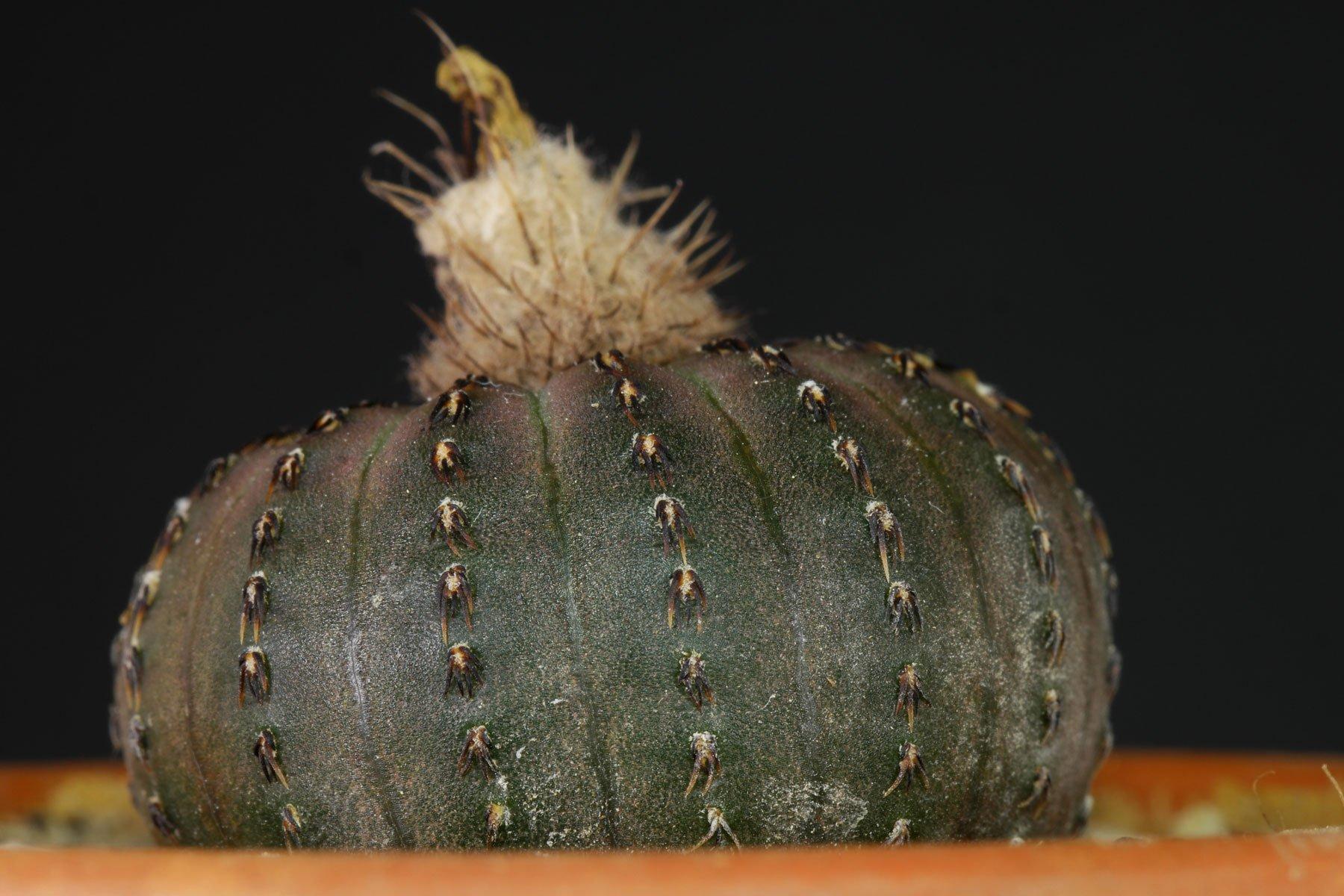 Frailea asterioides 2