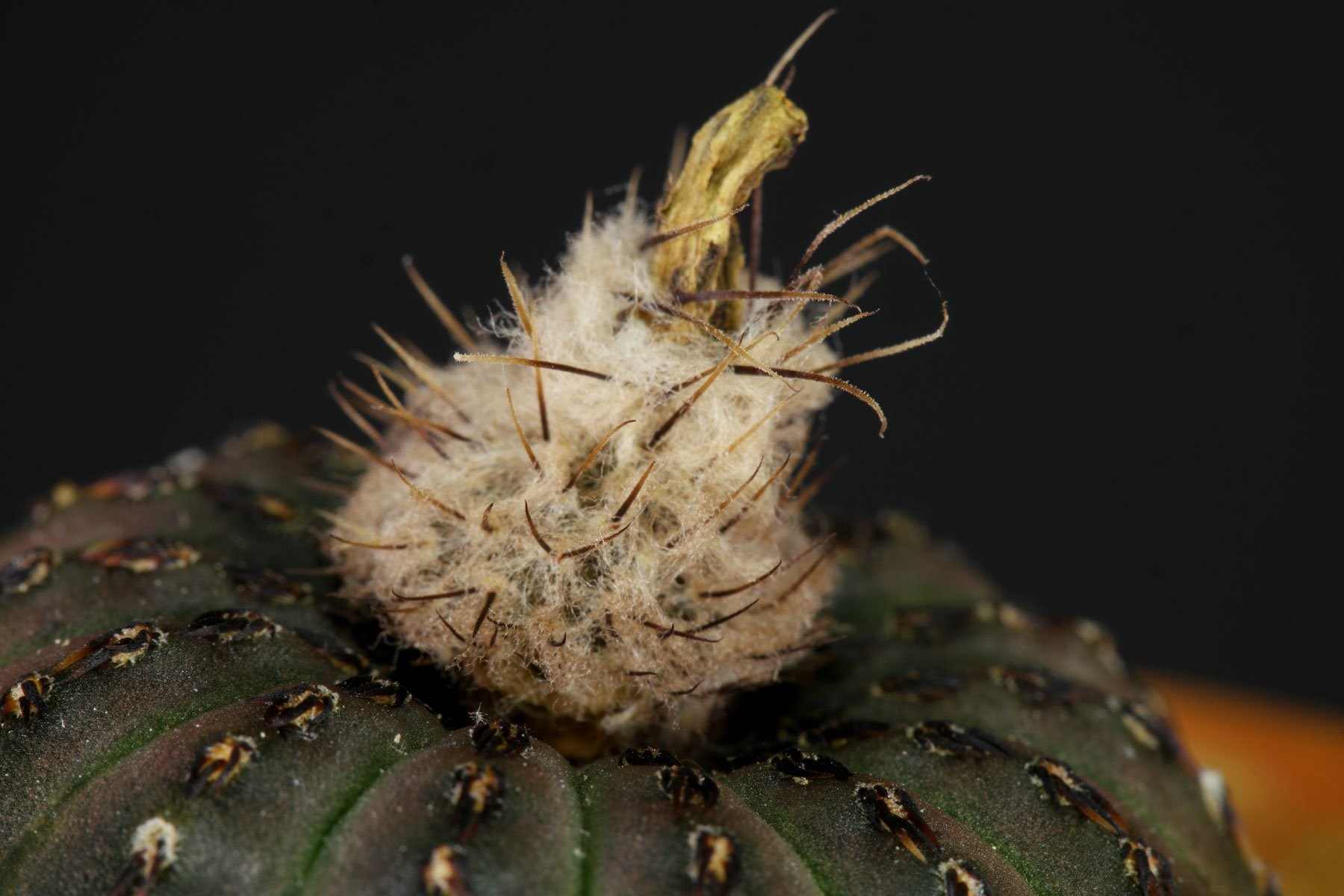 Frailea asterioides 3