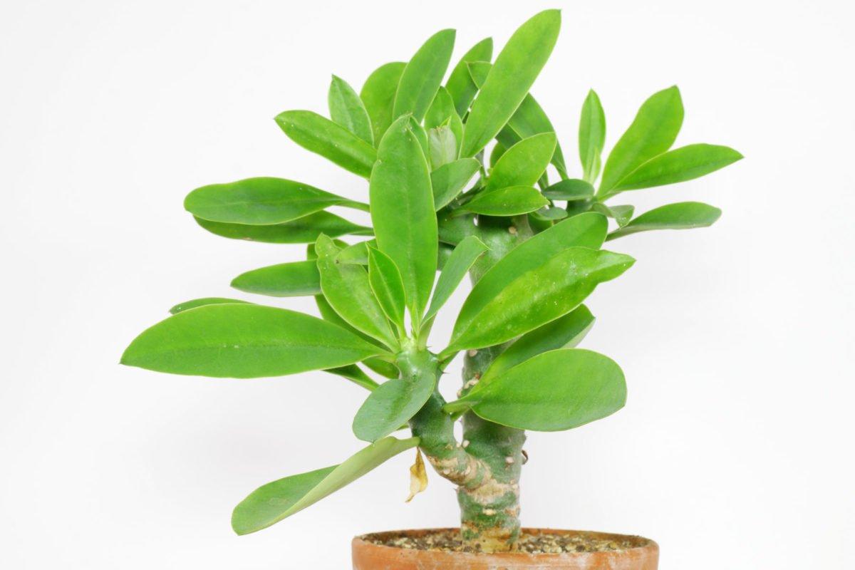 Euphorbia nivulia 5