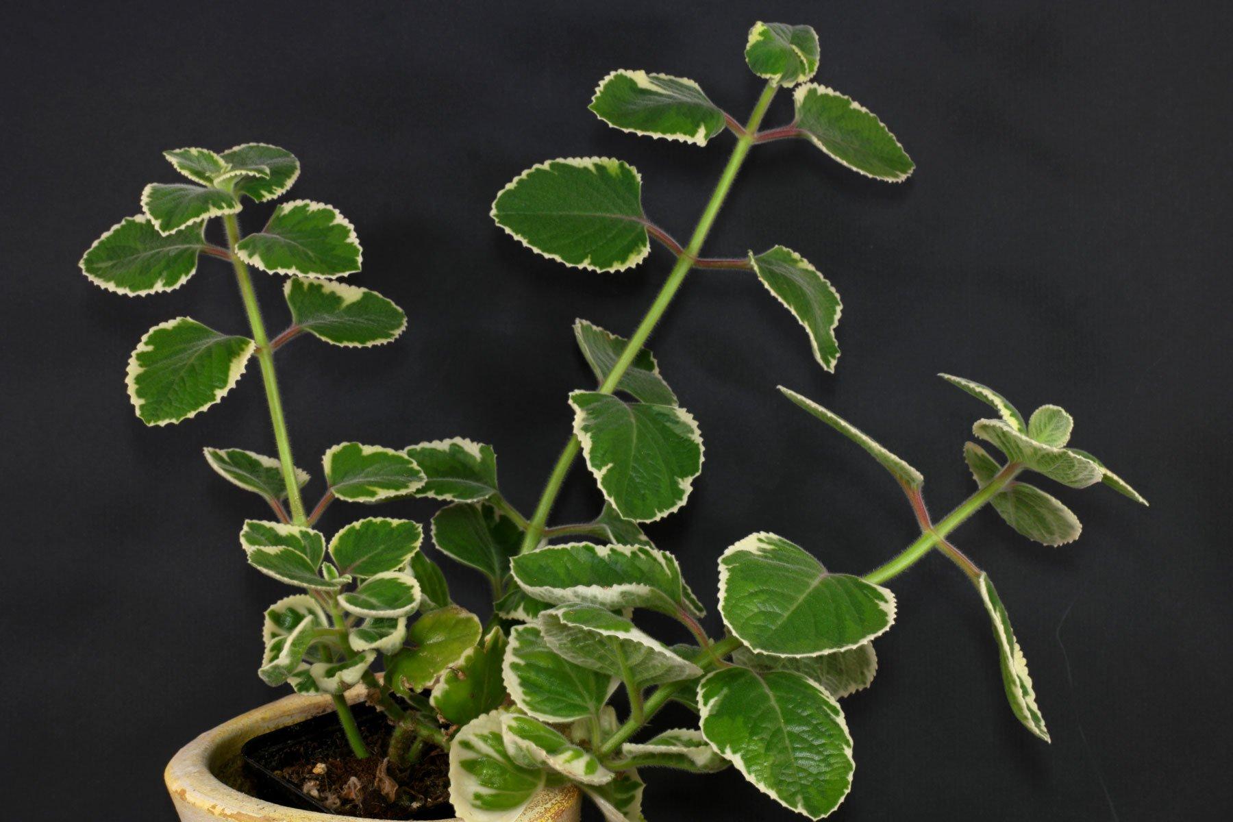 Plectranthus amboinicus Variegata 1
