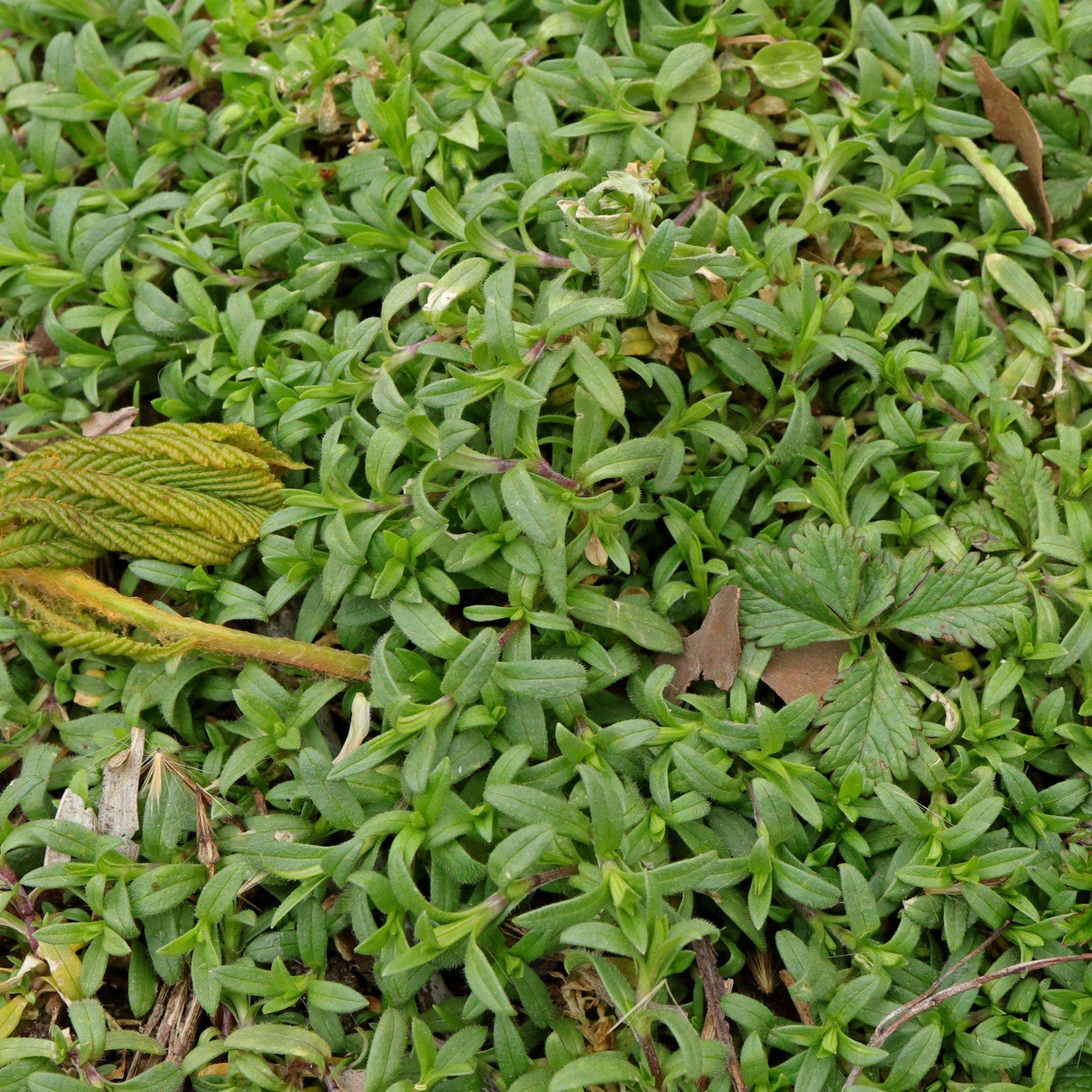 Cerastium arvense ssp arvense