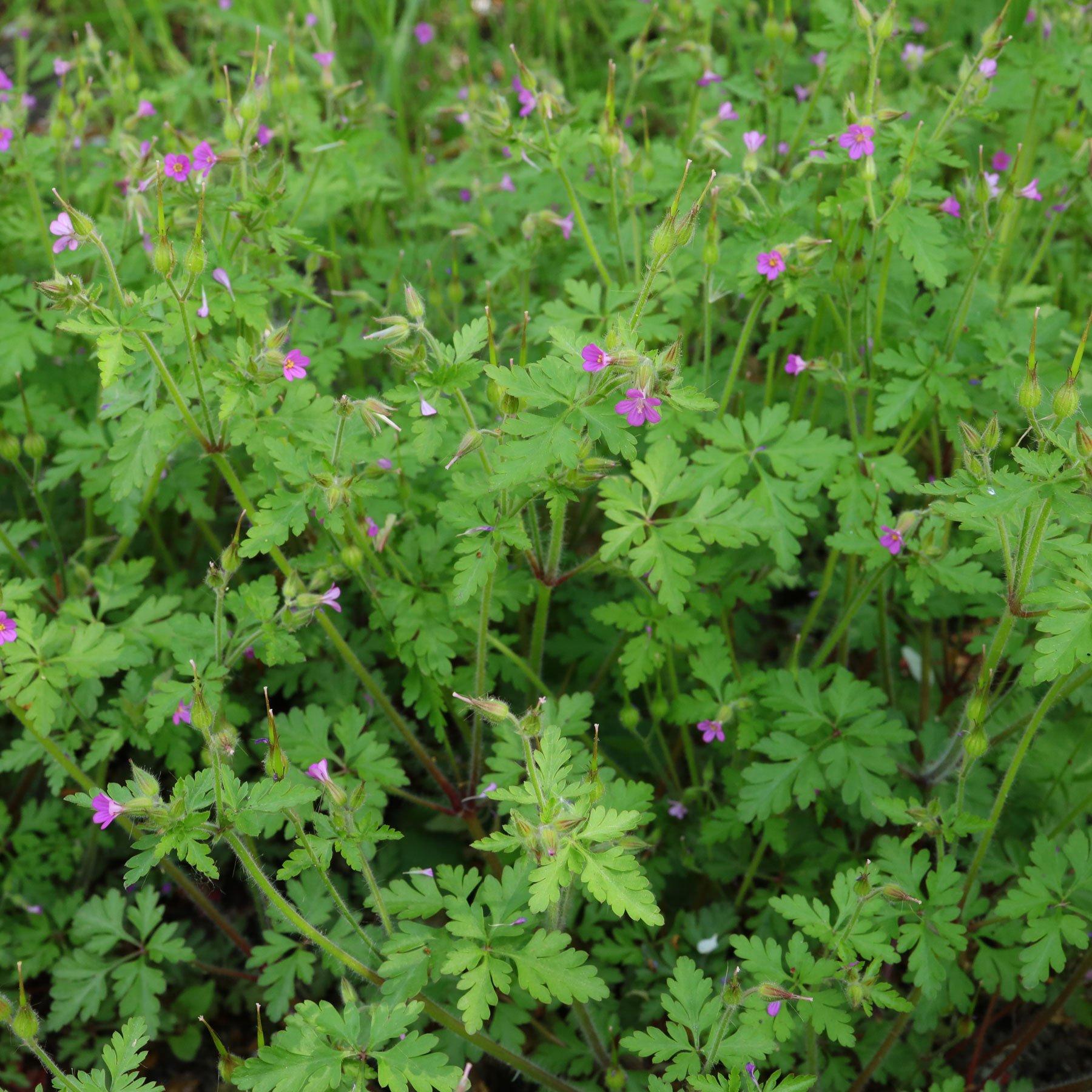 Geranium purpureum