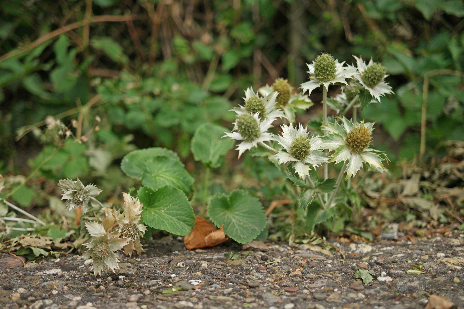 Eryngium giganteum cv.